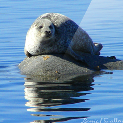 Whiskers on the Rocks – Loch Sween, Argyll, Scotland