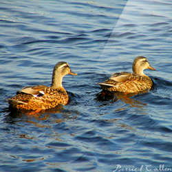 Mallards on Bellanoch Bay – Crinan Canal, Argyll, Scotland