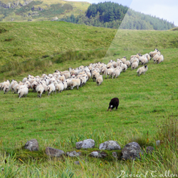 Rounding the Sheep – Ford, Argyll, Scotland